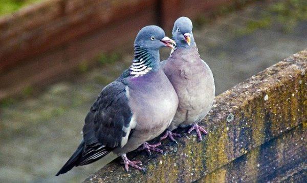 Pigeon Turtle Dove Wing Fly  - AldinoM / Pixabay