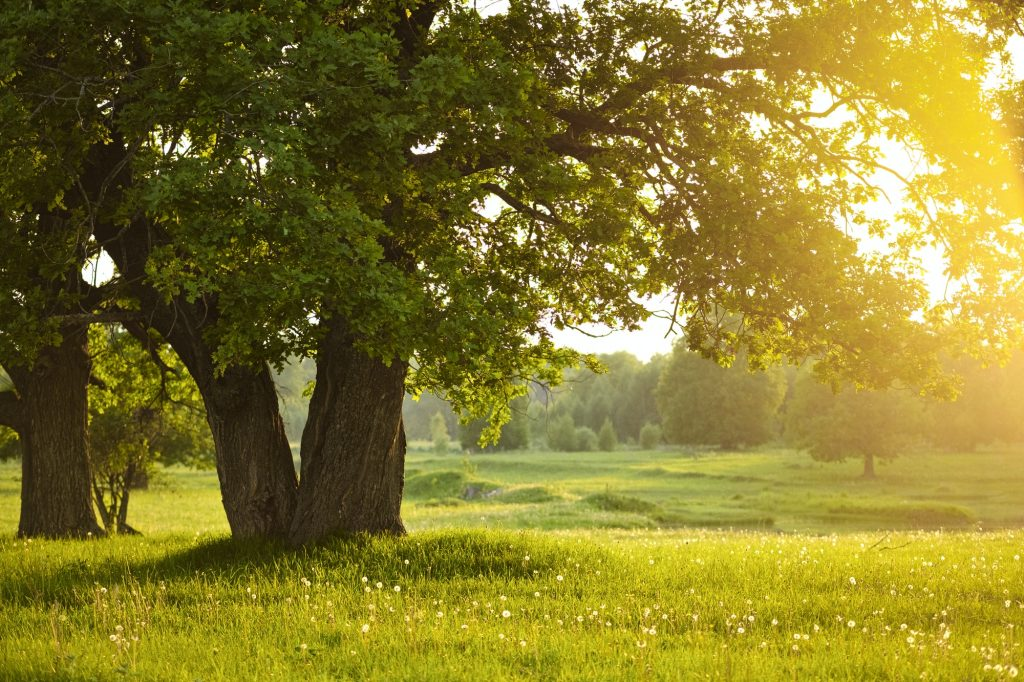 Mighty oak tree. Sunset in the evening. The concept of wisdom and longevity